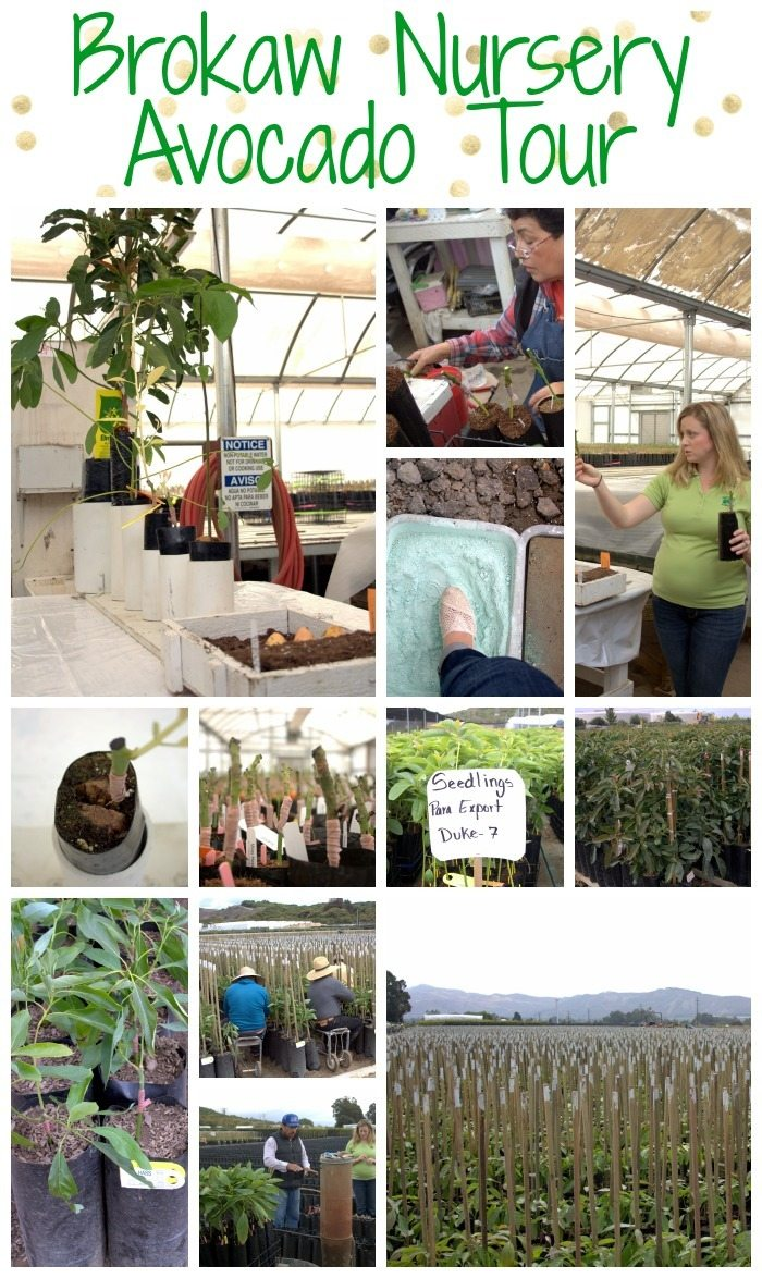 Brokaw Nursery Avocado Tour